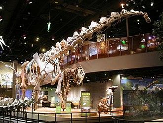 Alamosaurus - Restored Alamosaurus skeletal mount at the Perot Museum.