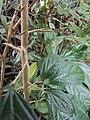 Alangium salviifolium leaves and flowers 03.JPG