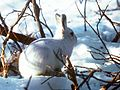 Alaskan Hare U.S. Fish and Wildlife Service (16247425696).jpg