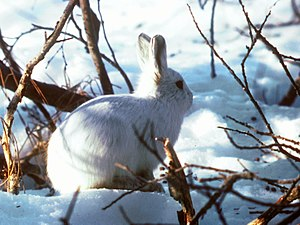 Alaskan Hare U.S. Fish and Wildlife Service (16247425696).jpg
