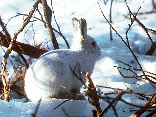 500px alaskan hare u.s. fish and wildlife service (16247425696)