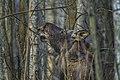 Alces alces 11(js), Biebrza National Park (Poland).jpg