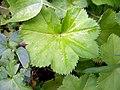 Alchemilla acutiloba leaf (10).jpg