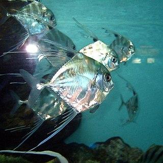 <i>Alectis</i> Genus of fish