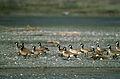 Aleutian Cackling Geese.jpg