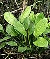 Alisma plantago-aquatica L.jpg