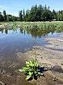 Alisma plantago-aquatica sl19.jpg