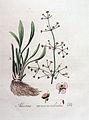 Alisma ranunculoides — Flora Batava — Volume v4.jpg