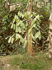 Allanblackia Parviflora Plant