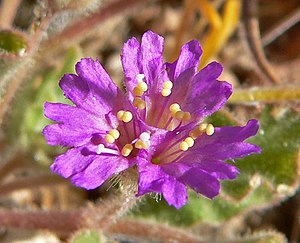 Allionia incarnata da Wikipedia