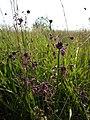 Allium carinatum subsp. carinatum sl11.jpg