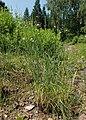 Allium strictum kz01.jpg