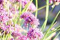 Allium taquetii.jpg