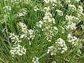 Allium tuberosum1.jpg