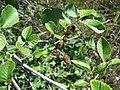 Alnus rhombifolia-6.jpg