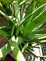 Aloe vera in bd 02.jpg