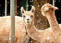 Alpacas in the snow (3899319376).jpg