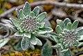 Alyssum montanum 01.jpg
