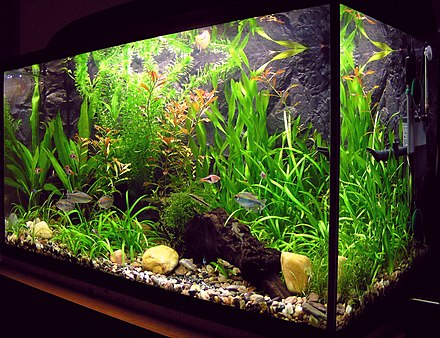 A freshwater aquarium with plants and tropical fish Amaterske akvarium.jpg