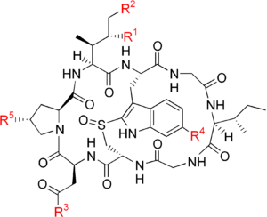 Amatoxin - The backbone structure (black) is the same in all the amatoxins and five variable groups (red) determine the specific compound.