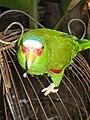 Amazona albifrons - pet -Las Peñitas -Nicaragua-6a.jpg