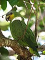 Amazona amazonica Lora amazónica Orange-winged Parrot (16230386040).jpg