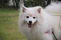 American Eskimo Dog 4.jpg