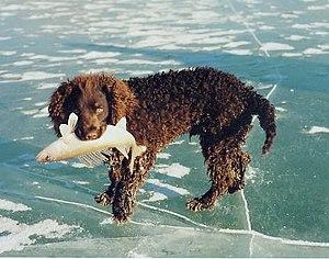 American Water Spaniel - An American Water Spaniel's coat is water resistant