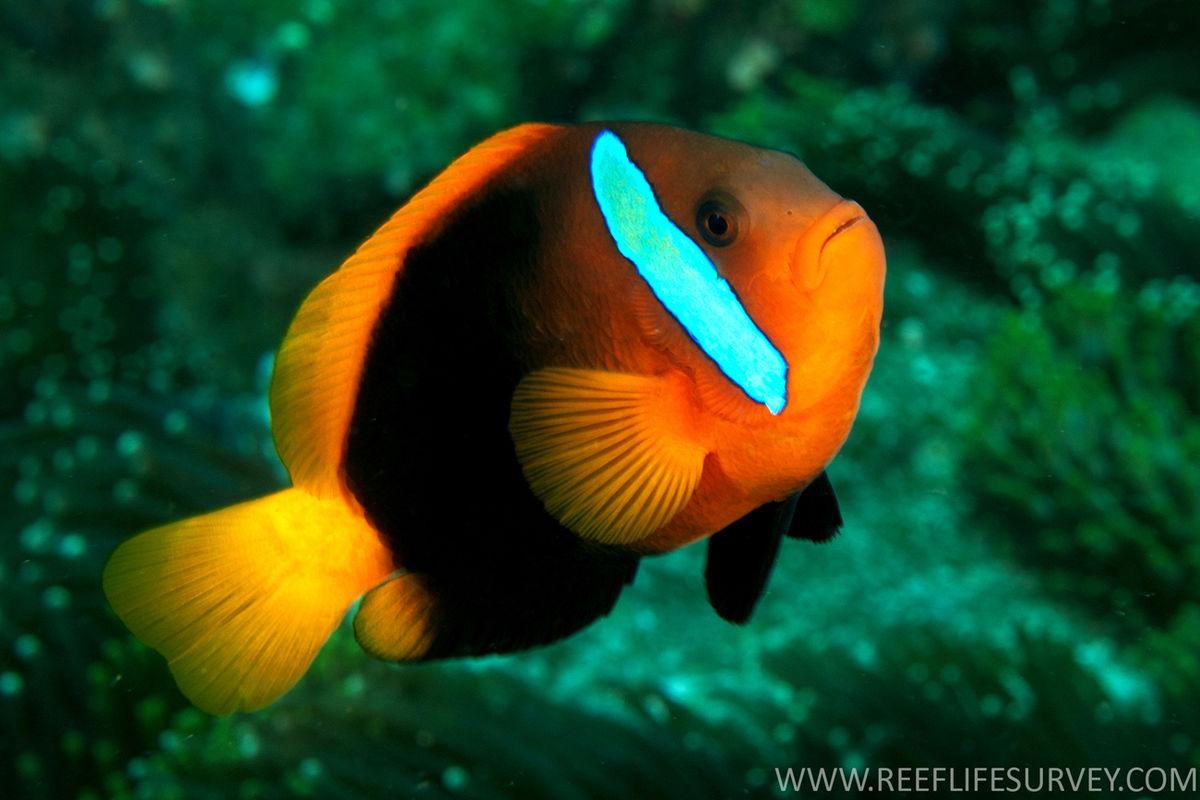12 incre bles especies de peces payaso que quiz for Especies de peces