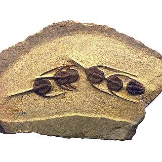 <i>Ampyx</i> (trilobite) Extinct genus of trilobites