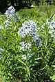 Amsonia orientalis kz01.jpg