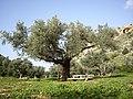 An Olive Tree in Oren Creek, Mt. Carmel - panoramio (1).jpg