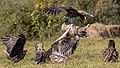 An adult and a juvenile white-tailed eagle (Haliaeetus albicilla) fighting.jpg