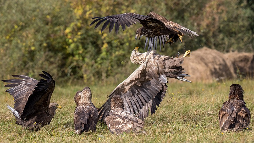 An adult and a juvenile white-tailed eagle (Haliaeetus albicilla) fighting