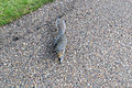 An eastern grey squirrel (sciurus carolinensis) in London.jpg