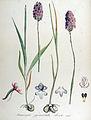 Anacamptis pyramidalis — Flora Batava — Volume v14.jpg