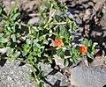 Anagalis arvensis Scarlet Pimpernel წითელი საპონელა.jpg