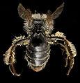 Andrena distans, F, Back2, VA, Gales County 2014-01-24-14.16.58 ZS PMax (15398934284).jpg