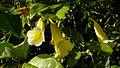 Anemopaegma citrinum Mart. ex DC. (4070393432).jpg