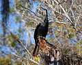 Anhinga on the St. Johns River.jpg