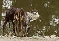 Ankole-Watusi calfs.jpg