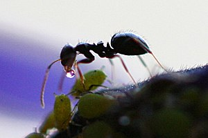 Honeydew (secretion) - An aphid produces honeydew for an ant in an example of mutualistic symbiosis.