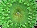 Anthopleura xanthogrammica 2.jpg