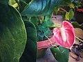 Anthurium andraeanum.jpg