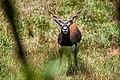 Antilope-negro (Antilope cervicapra) - blackbuck.jpg