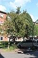 Apfelbaum St. Pauli 01.jpg