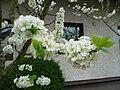 Apfelblüten.JPG