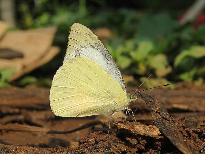 Sưu tập Bộ cánh vẩy 2 - Page 75 800px-Appias_albina_swinhoei_Moore%2C_1905_%E2%80%93_Sahyadri_Common_Albatross_at_Kottiyoor_Wildlife_Sanctuary_%286%29