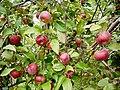 Apples - panoramio.jpg