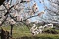 Aprikosenblüten bzw. Marillenblüten (Oberloiben).JPG